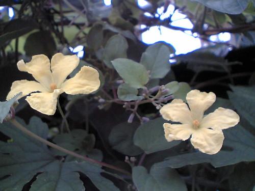 goya flowers