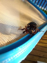 beetle from the pool