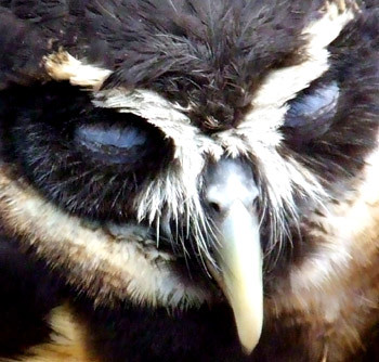 spectacled owl on eggs