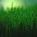 wheat grass with dew