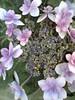 20Hydrangea-lilac-lacecap