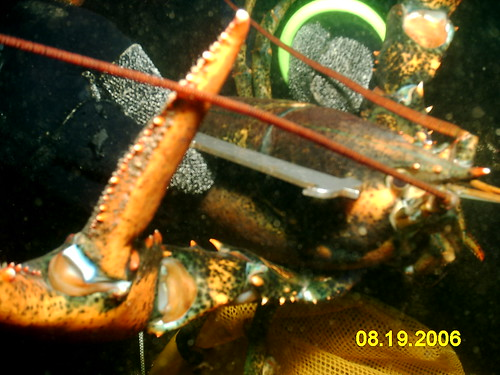 Too Big Lobster Being Gauged by Bill Myers