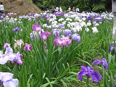 Meigeitsuin irises