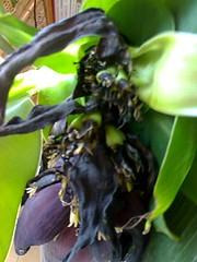 bananier en fleur3