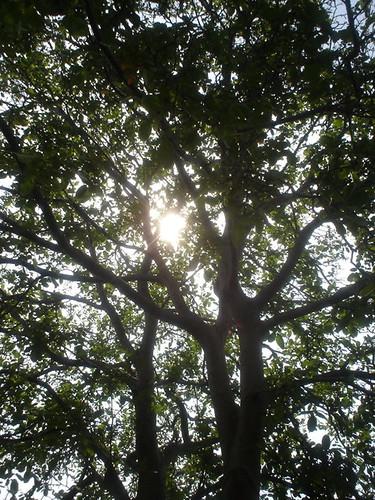 walnut tree sun