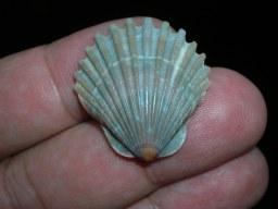 Vieira - Scallop shell