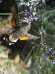 Photo de Moro Sphynx volant du polen à des fleurs de Lavande