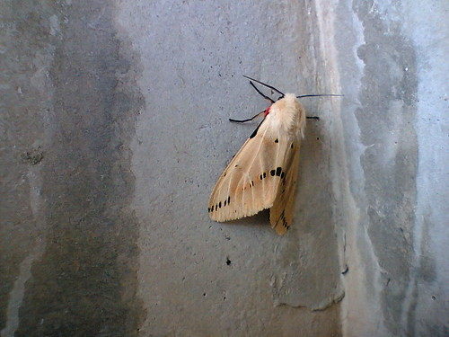Marvelous Moth