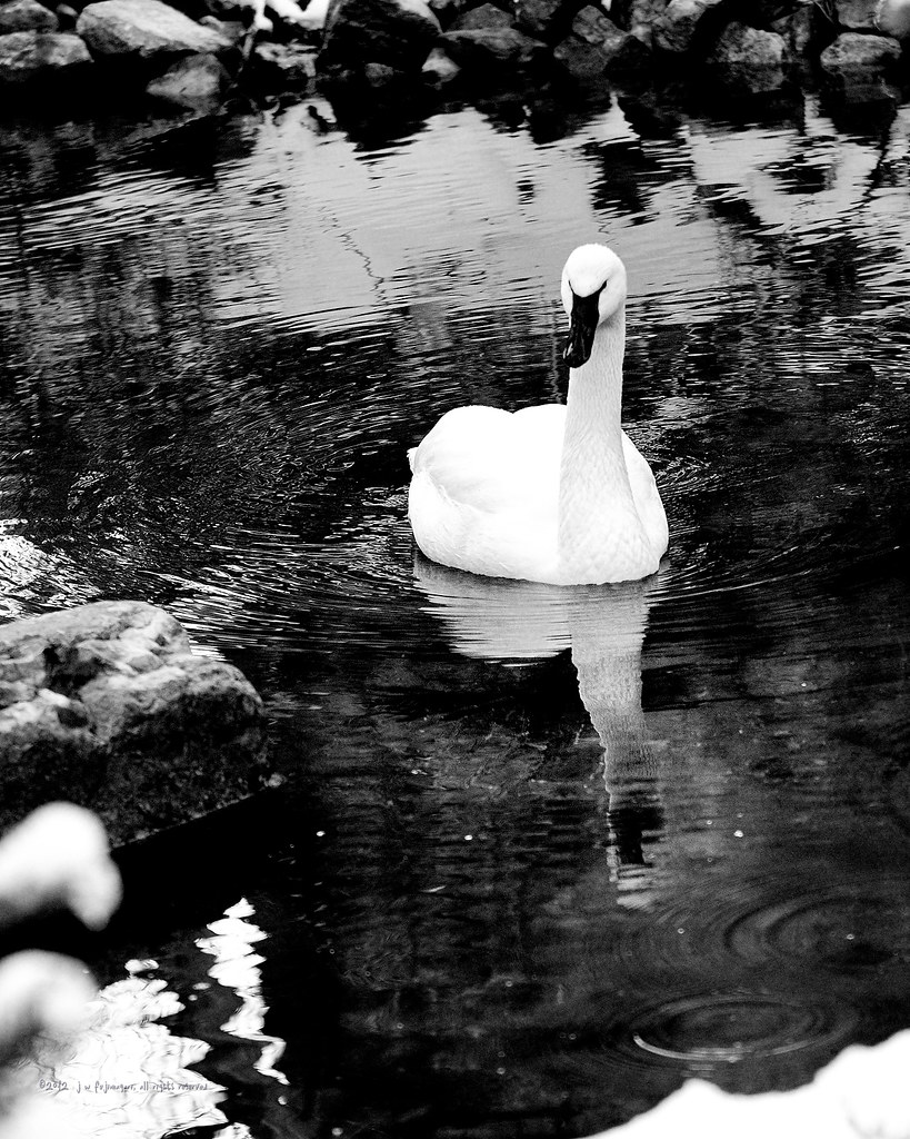 Single Swan Swimming