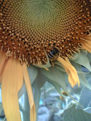 bee visits sunflower