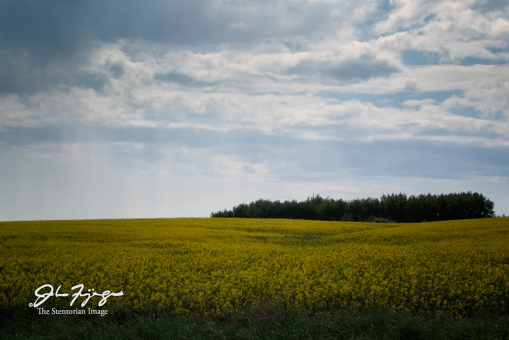 Canola And Trees
