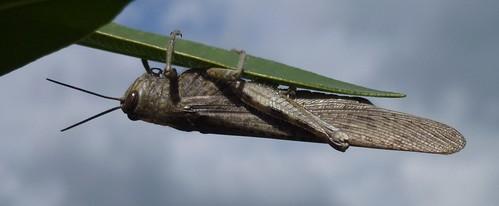 Græshoppe