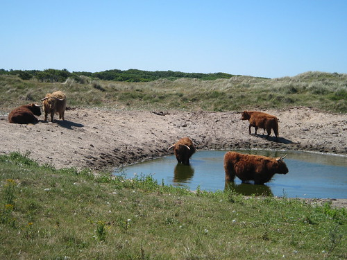 wild cows on the island