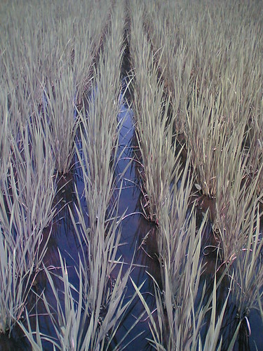 rice plant rows