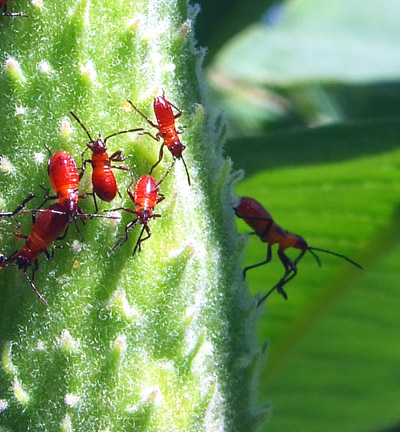 milkweed bugs 3