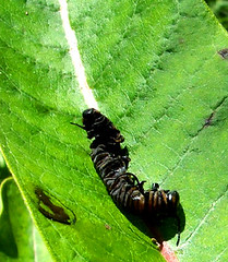dead monarch caterpillar