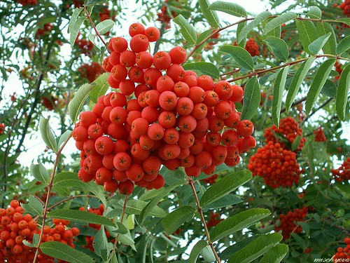 Rönnbär ~ Rowanberries