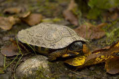 Wood Turtle Clemmys insculpta