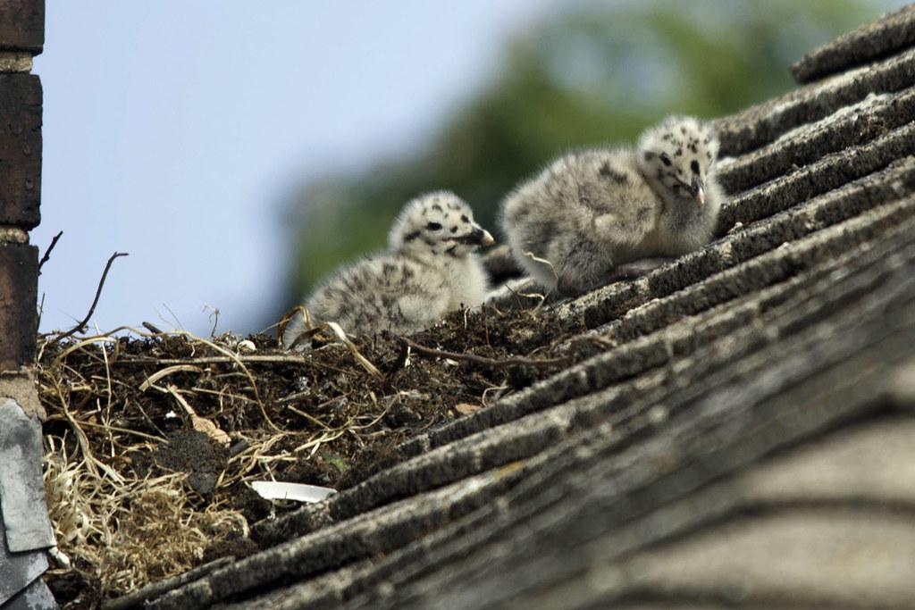 Newbors Gull Chicks