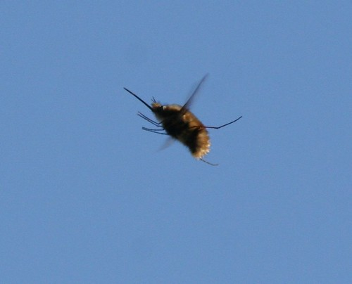 Stor humleflue (Bombylius major)
