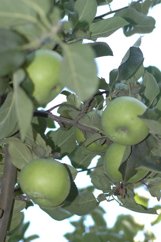 Pickin' Apples at Brown's Orchards