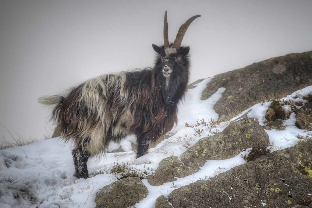 Feral Mountain Goat