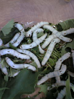2feeding silkworms