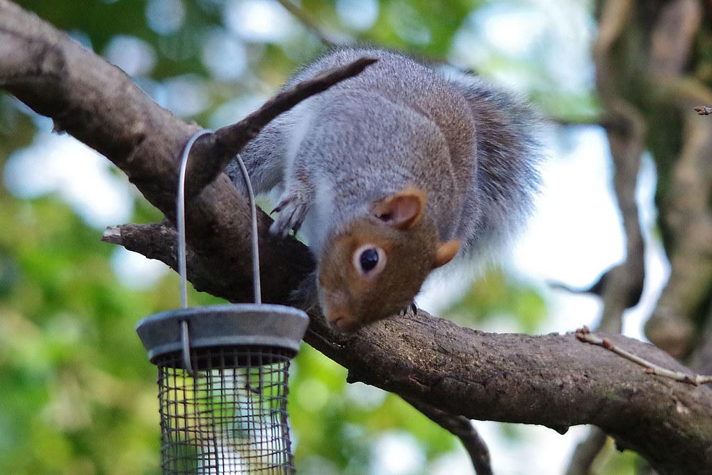 Thieving Squirrel
