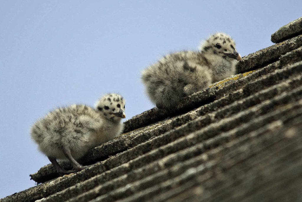 Climbing Gull Chicks