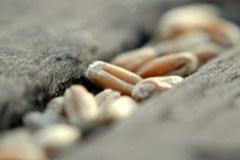 Grain in tracks 02