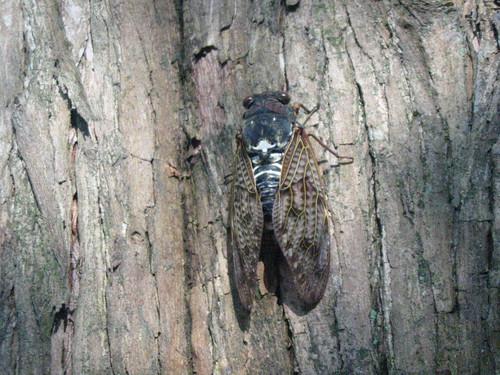 cicada adult