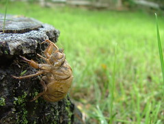 Cicada 04