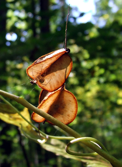 wild yam fruits with spider