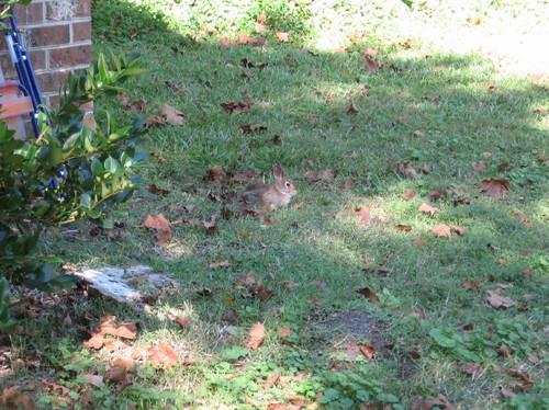 bunny in my yard