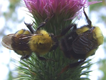 bumblebees on thistle