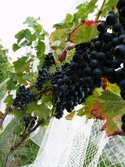 Grapes at Black Star Farms