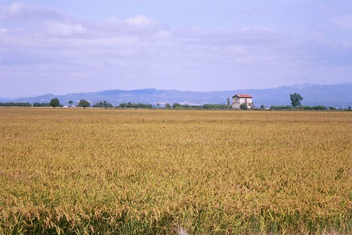 Rice fields at Delta del Ebro