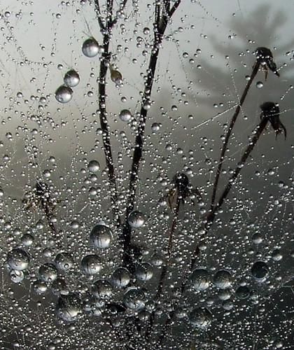 dewdrops in web