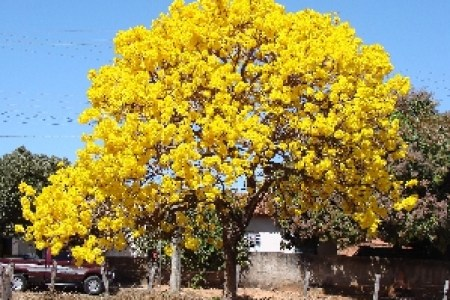 Yellow flowering trees in florida new artist 2018 new artist florida erupt in yellow blossoms orlando sentinel tabebuia tree gold tree in bloom bright yellow flowers fill south florida thanks to tabebuia tree wlrn mightylinksfo