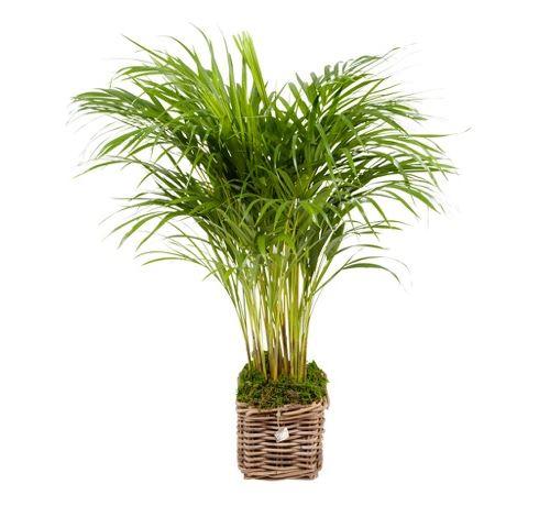 Plante d'intérieur de Botanicly – Palmiste multipliant – Hauteur: 85 cm – Areca dypsis lutescens 0