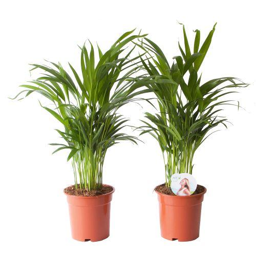 Plantes d'intérieur de Botanicly – 2 × palmier d'Arec – Hauteur: 65 cm – Areca dypsis lutescens