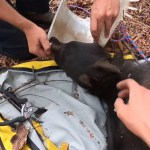 Bear with bucket stuck on its head for over a week finally rescued by parks and wildlife workers 💥💥