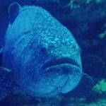 Goliath groupers wash ashore in Florida during massive fish kill 💥💥💥💥