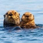 California aquarium, agencies work to develop sea otter tracker 💥💥