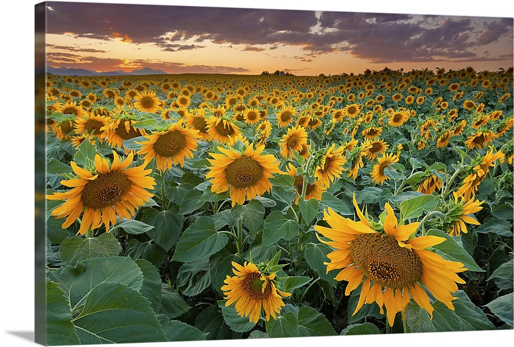 A Beautiful Sunflower Field With Mountains In The Background Longmont Colorado Wall Art
