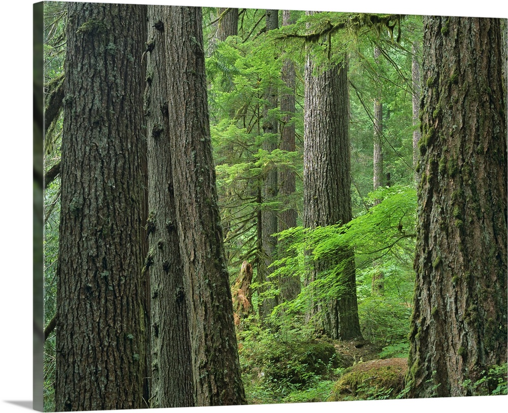 The indian creek trail and. Old Growth Forest Of Western Red Cedar Grove Of The Patriarchs Washington Wall Art Canvas Prints Framed Prints Wall Peels Great Big Canvas