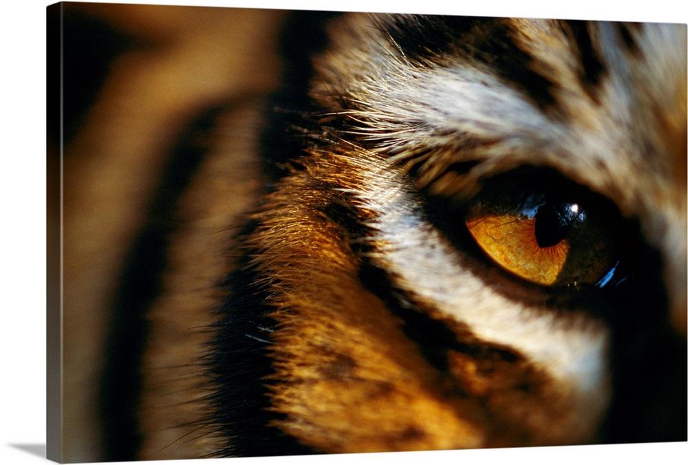 Close View Of Tiger Eye, Madhav National Park, India Wall