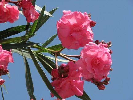 immagine di fiori e foglie di oleandro
