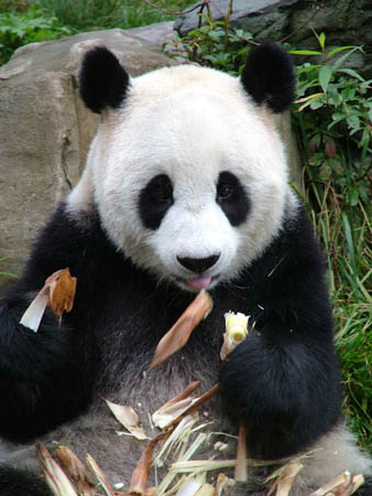 https://i1.wp.com/static.guim.co.uk/Guardian/environment/gallery/2007/nov/12/wildlife/Giant-panda1C-David-Sheppar-8146.jpg