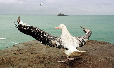 A wandering albatross